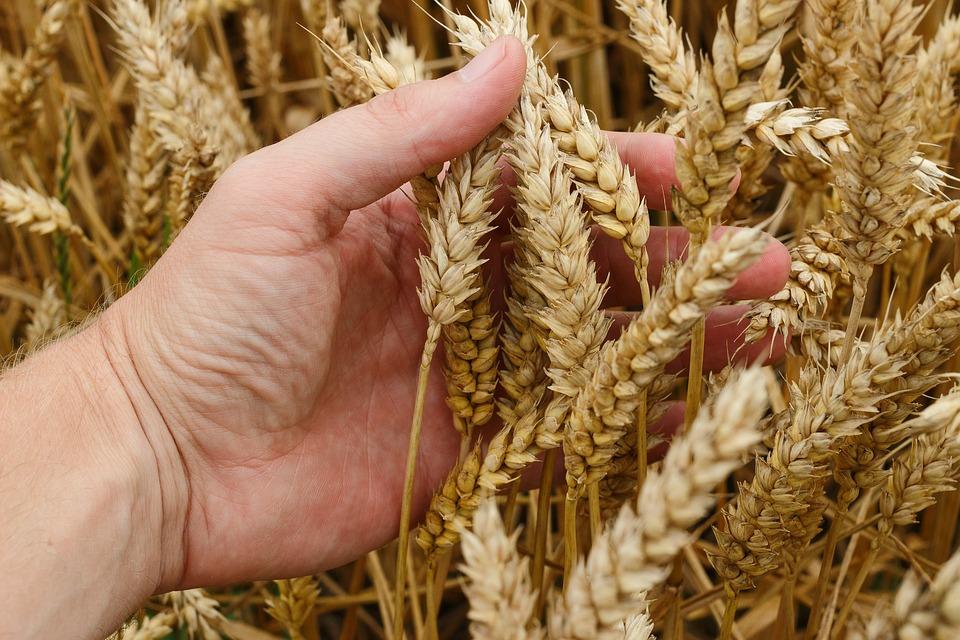 wheat-1530321_960_720